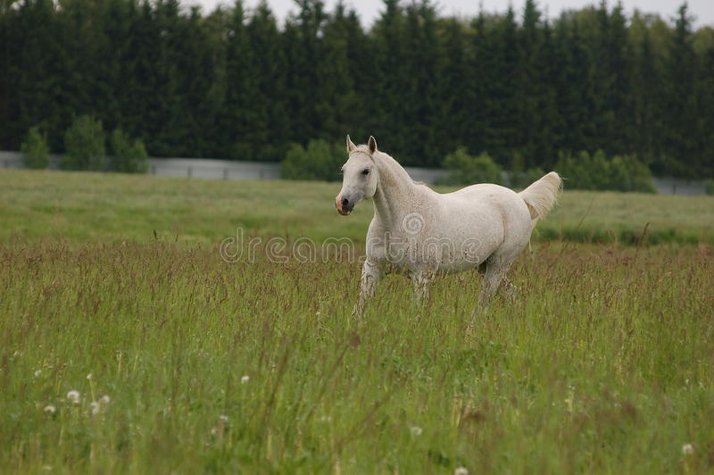 White arab horse in summer field stock photography