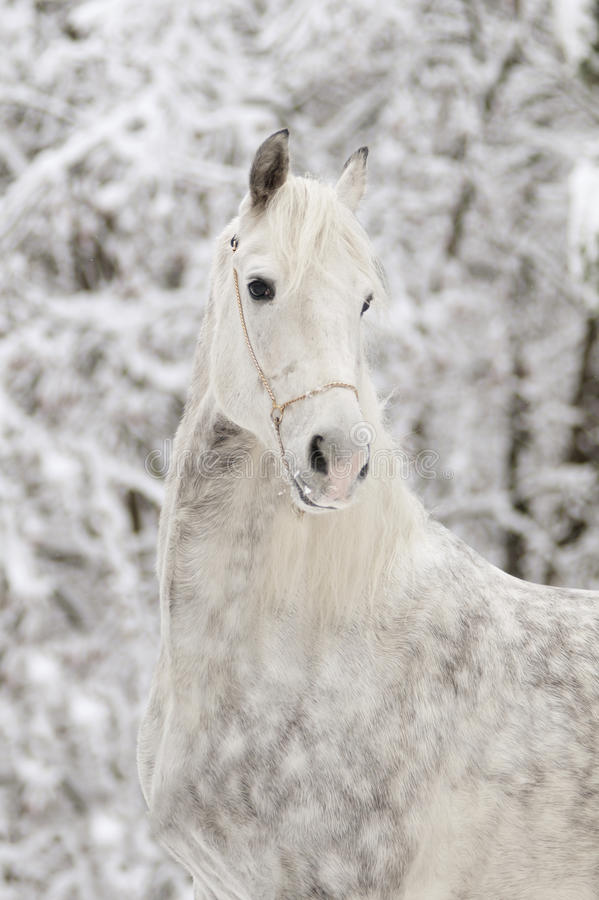 White arab horse in winter stock photo