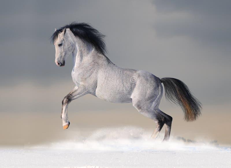 White arab horse in winter stock photo