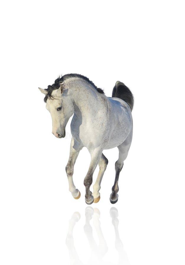 Download White arab stallion stock photo. Image of free, equestrian - 12950804