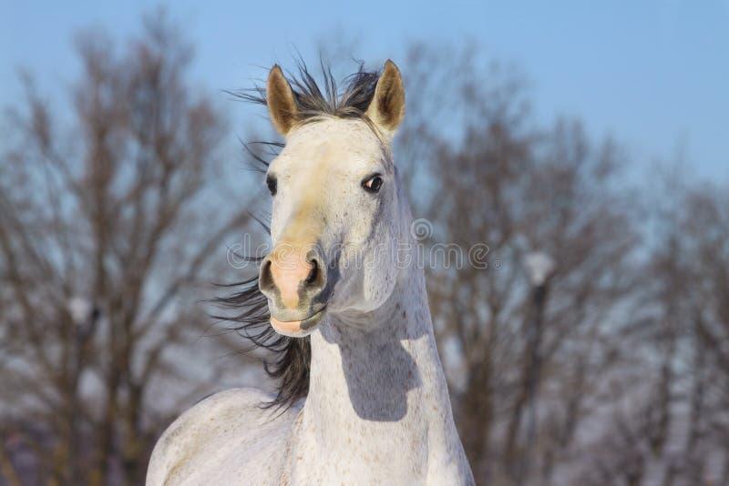Download White arab stallion stock image. Image of hair, blue - 12965831
