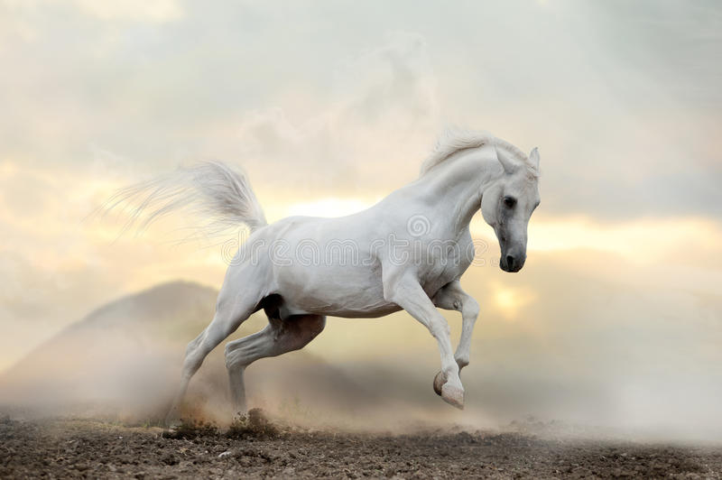 Download White Arab Stallion In Dust Stock Image - Image: 27127243