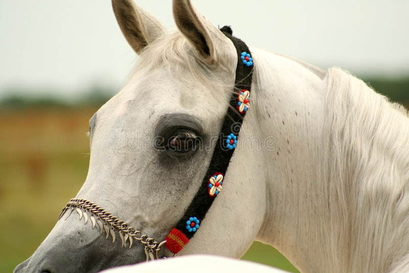 White Arabian horse royalty free stock photo