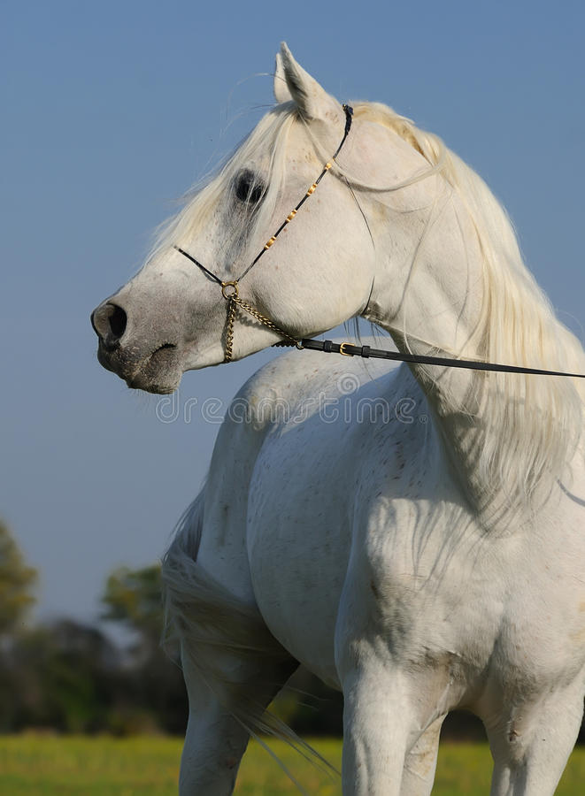 Download White arabian horse stock photo. Image of equine, grey - 11839648