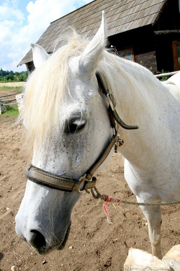Download White Arabian Horse stock photo. Image of paddock, adult - 13065196