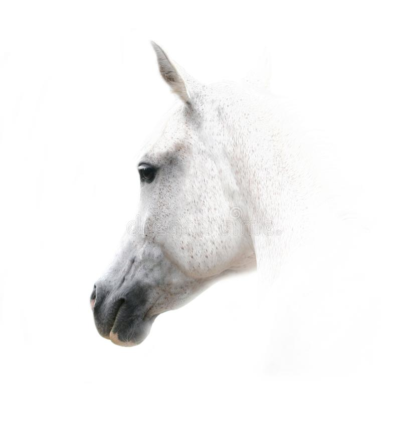 White arabian horse on white stock photo