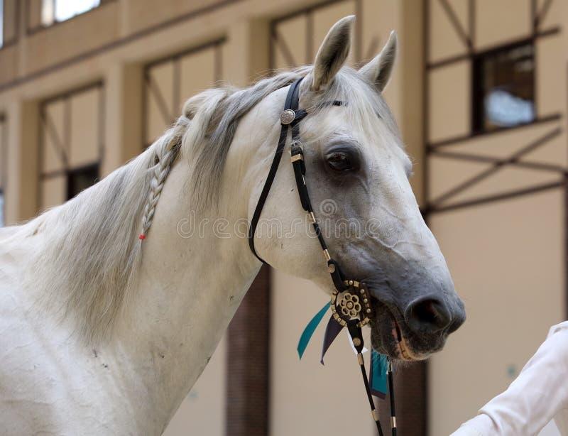 Arabian Horse. Portrait of gray stallion in a stable. White Arabian Horse with bridle. Portrait of gray stallion in a stable. Egypt stock photos