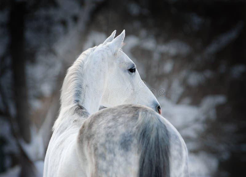 White arabian horse on dark winter background portrait stock photo