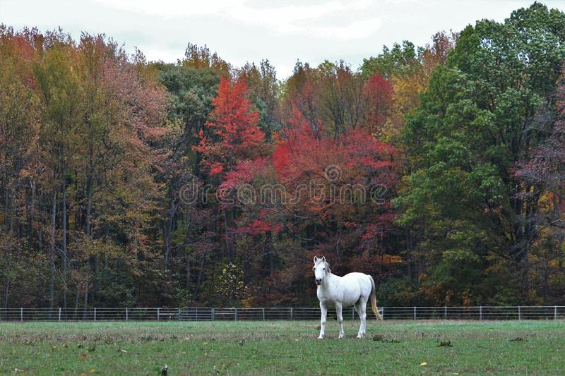 White Arabian horse in field in Fall royalty free stock photos