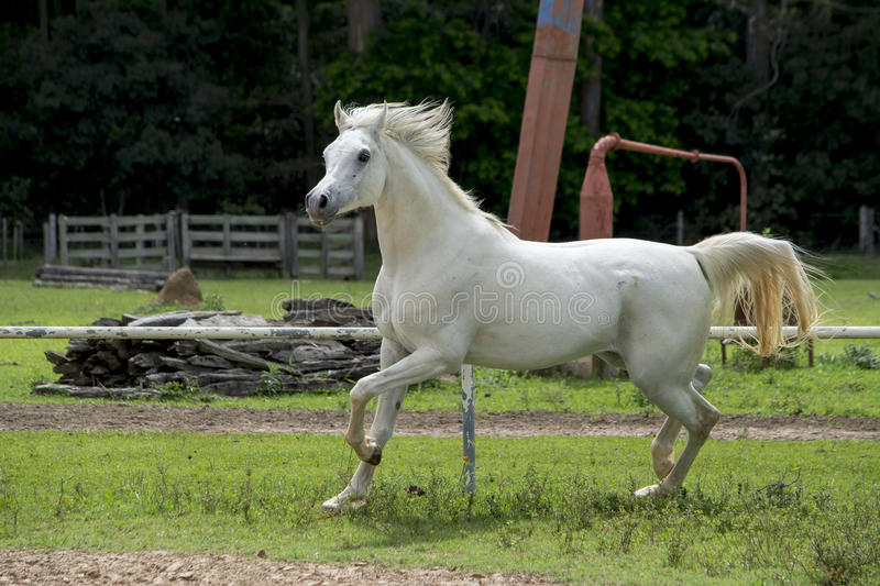 White Arabian Horse on grass. Adult white arabian horse running on a farm stock photo