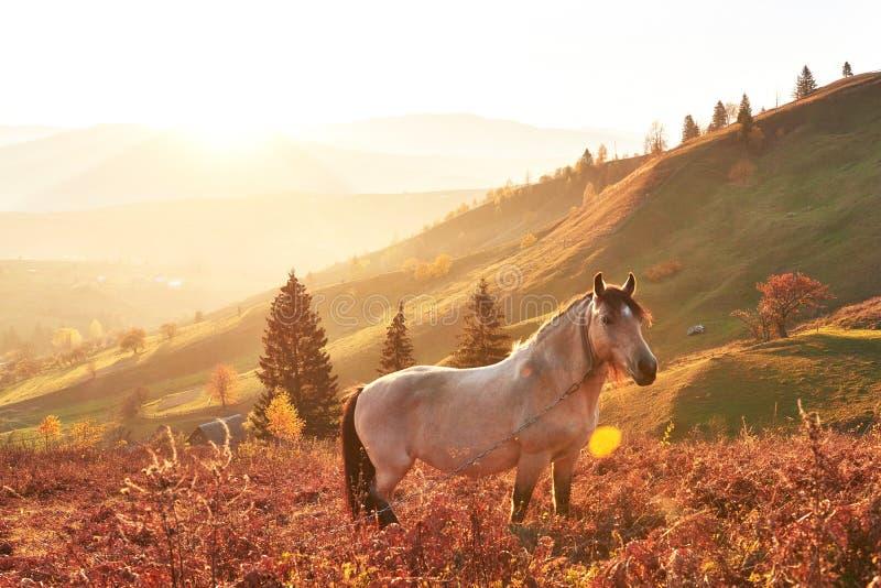 Amazing White Arabian Stallion Stock Image Image Of