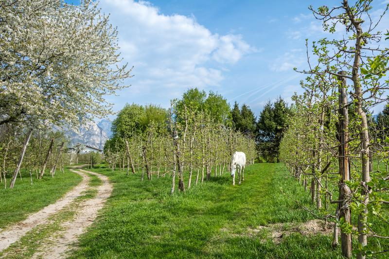 White Arabian Horse grazes in an orchard in the spring. Arabian horses are noted for their graceful build, speed, intelligence, and spirit and are often used stock photo