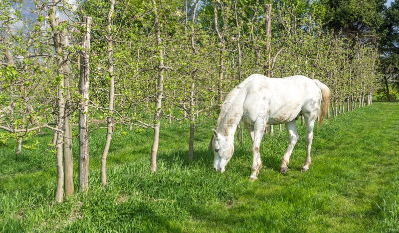 White Arabian Horse grazes in an orchard in the spring. Arabian horses are noted for their graceful build, speed, intelligence, and spirit and are often used as stock photos