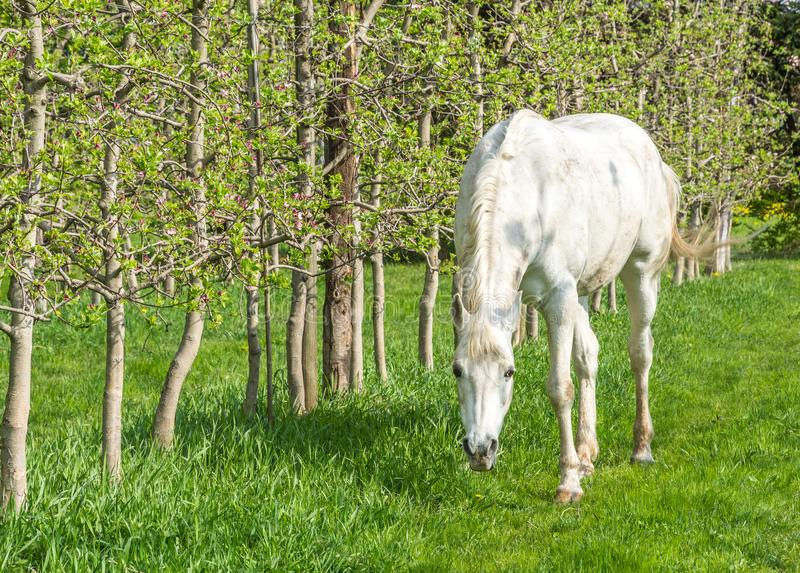 White Arabian Horse grazes in an orchard in the spring. Arabian horses are noted for their graceful build, speed, intelligence, and spirit and are often used royalty free stock photo