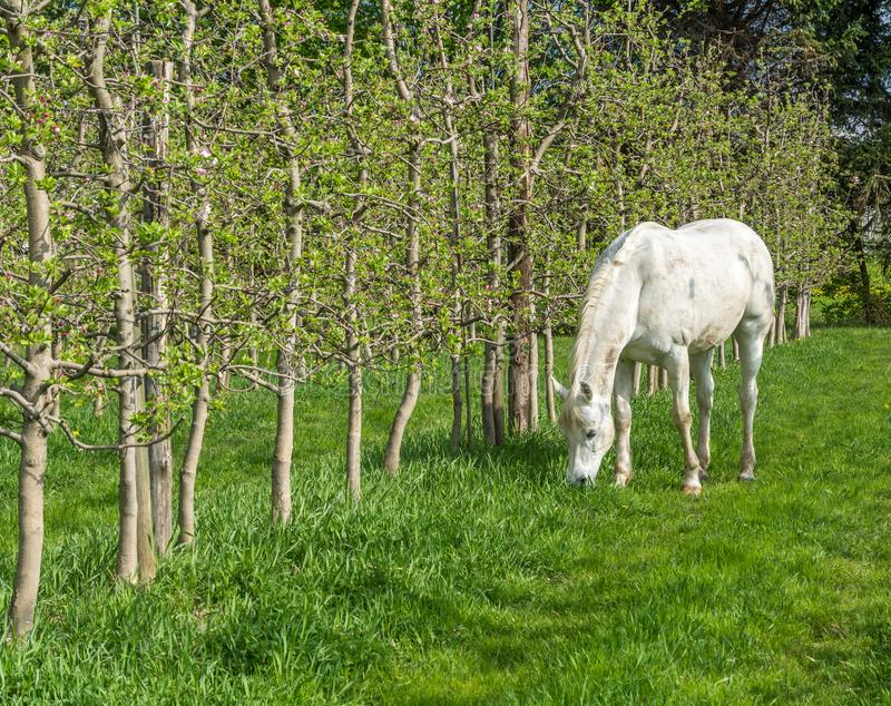 White Arabian Horse grazes in an orchard in the spring. Arabian horses are noted for their graceful build, speed, intelligence, and spirit and are often used as royalty free stock image