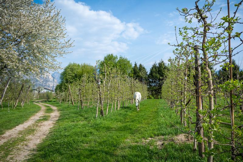 White Arabian Horse grazes in an orchard in the spring. Arabian horses are noted for their graceful build, speed, intelligence, and spirit and are often used as royalty free stock photo