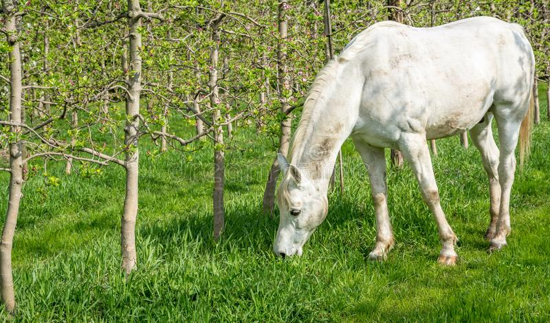 White Arabian Horse grazes in an orchard in the spring. Arabian horses are noted for their graceful build, speed, intelligence, and spirit and are often used as stock images