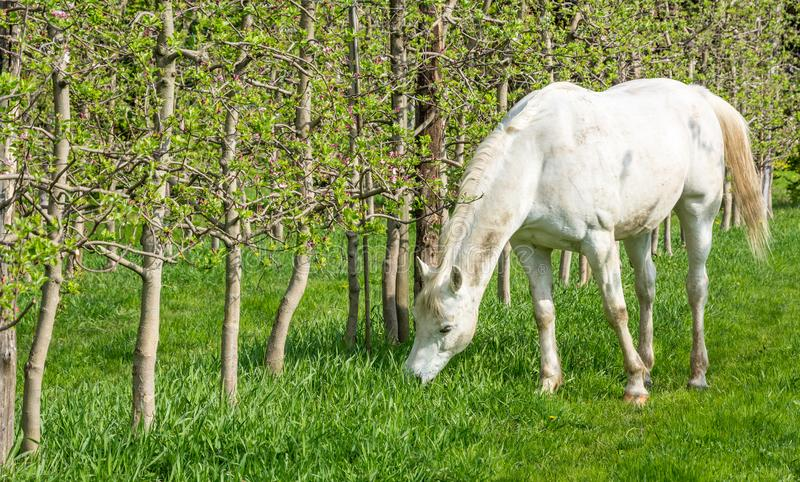 White Arabian Horse grazes in an orchard in the spring. Arabian horses are noted for their graceful build, speed, intelligence, and spirit and are often used as stock photo