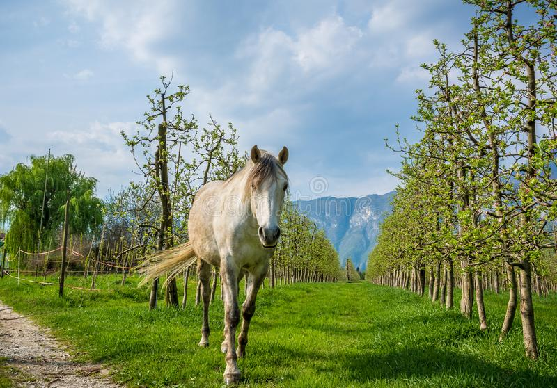 White Arabian Horse grazes in an orchard in the spring. Arabian horses are noted for their graceful build, speed, intelligence, and spirit and are often used as royalty free stock photography