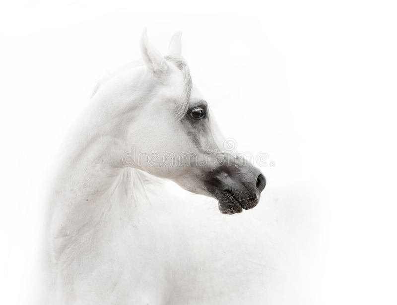 White arabian horse royalty free stock images
