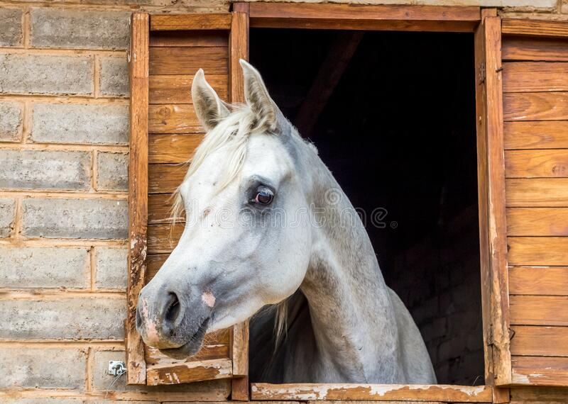 White Arabian horse looking out of stall window at stable. Horse portrait royalty free stock photography