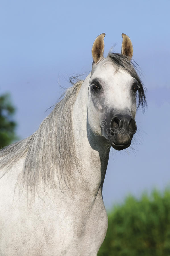 White arabian horse portrait. White arabian horse stallion portrait stock photo