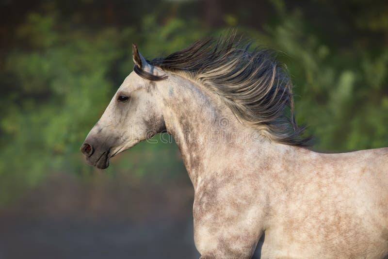 Grey arabian horse with long mane. White arabian horse portrait at sunrise light stock image