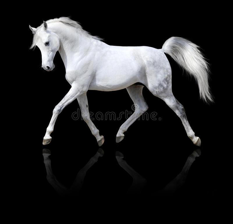 White arabian horse run isolated on black royalty free stock photography