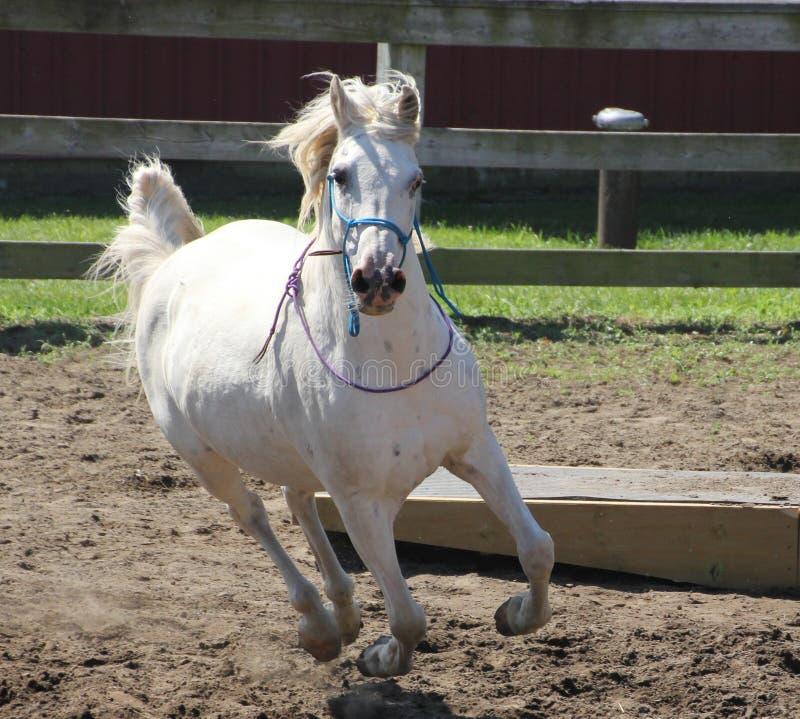 White Arabian horse running at liberty royalty free stock photography