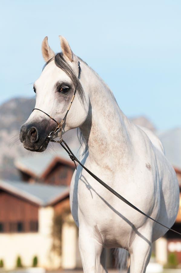 White arabian horse stallion portrait. In summer stock photos