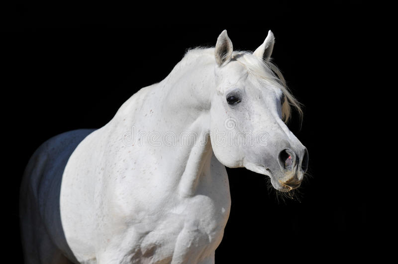 White arabian horse stallion portrait. Isolated on black royalty free stock photo