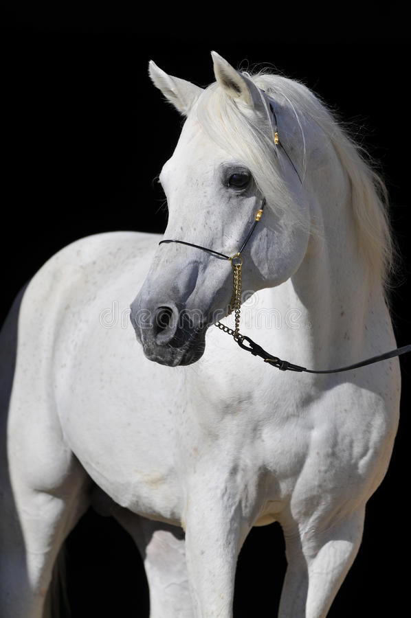 Download White Arabian Horse Stallion Portrait Stock Photo - Image: 9465508