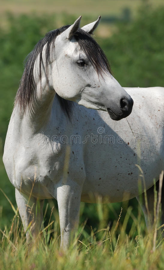 Download White Arabian Mare Stock Images - Image: 10242524