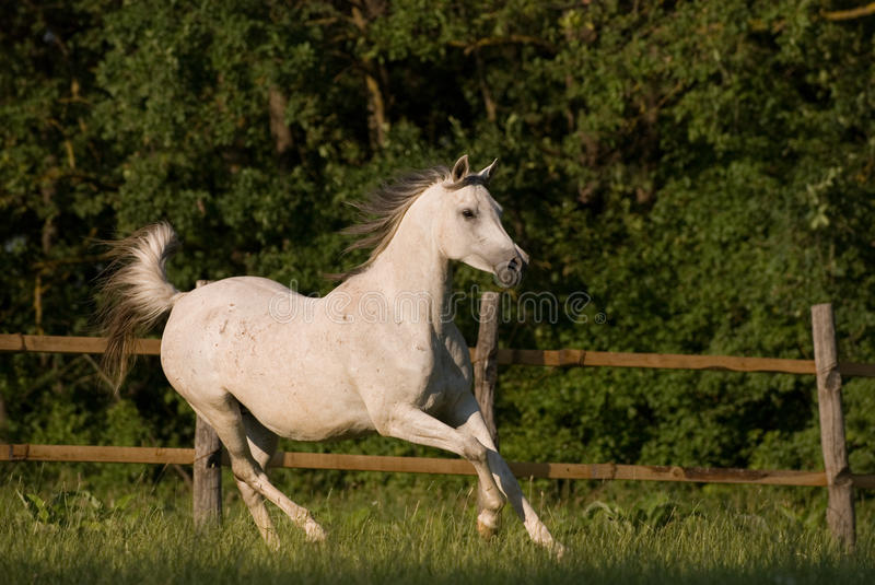 Download White arabian mare stock image. Image of pasture, green - 9893483