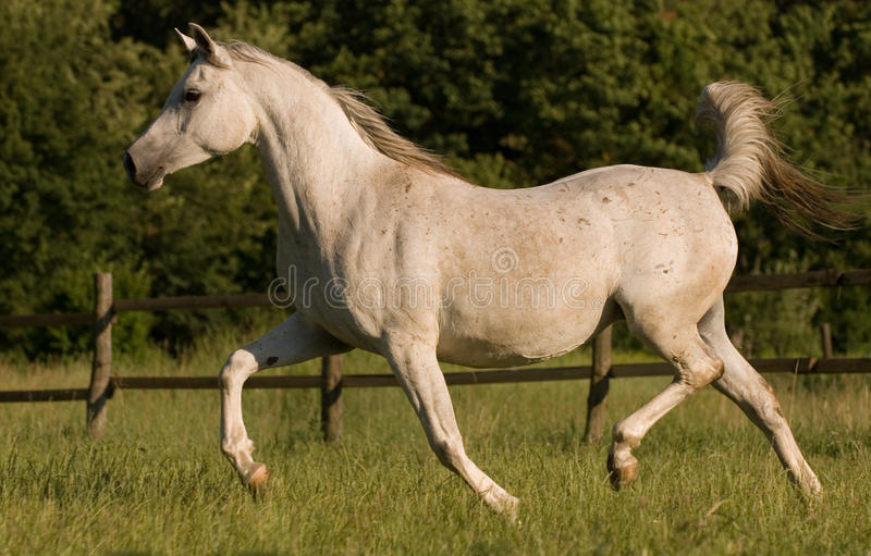 Download White Arabian Mare Royalty Free Stock Photography - Image: 9893517