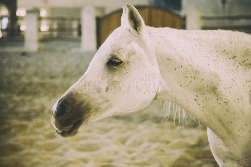 White Arabic thoroughbred horse in Doha, Qatar royalty free stock photography