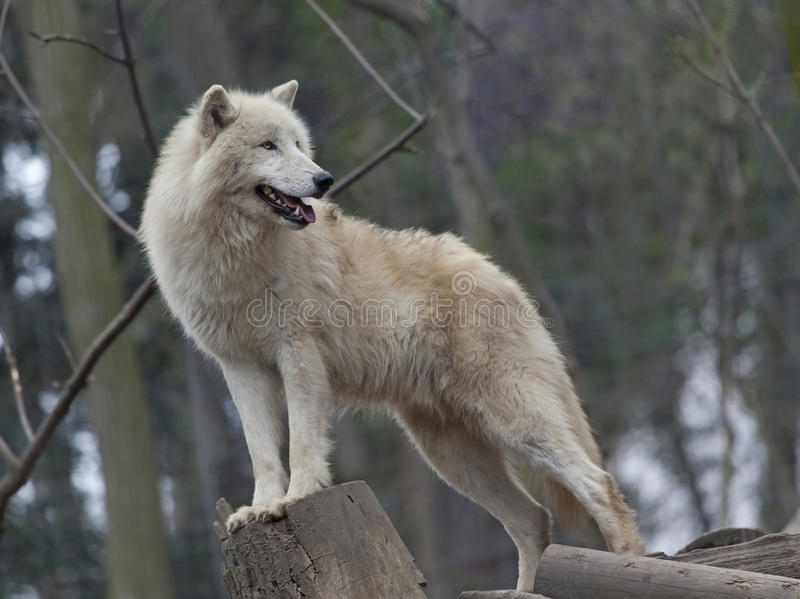 Download White arctic wolf stock image. Image of mammal, dangerous - 30445959