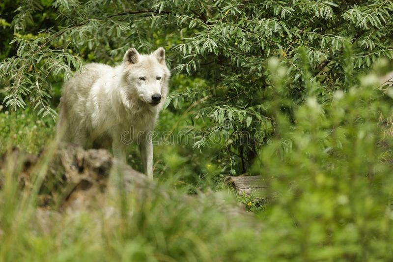 White artic wolf royalty free stock images