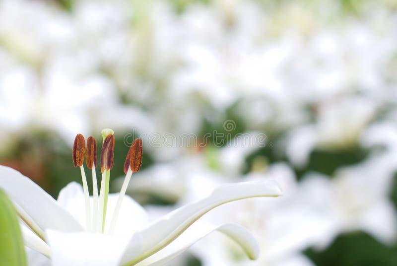 White Asiatic Lily Stock Photos