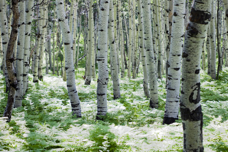 White Aspens Royalty Free Stock Photography