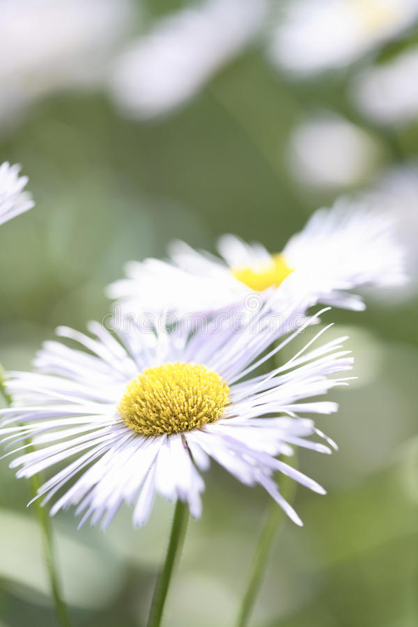 White Aster Daisy. royalty free stock photography