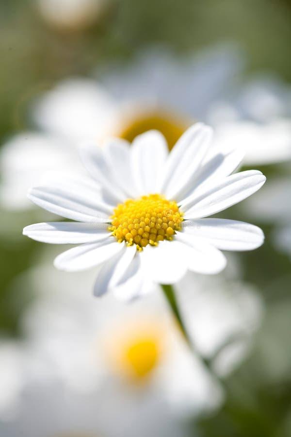 White Aster Daisy.