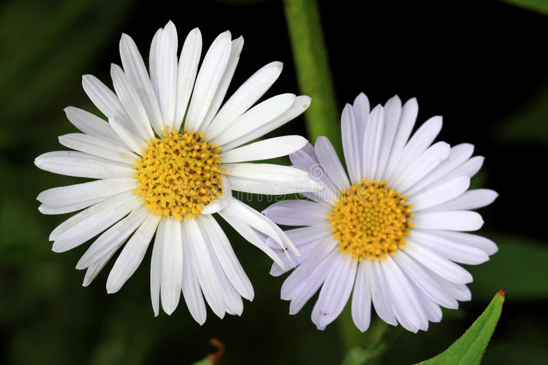 White aster flowers stock photo image of beautiful flowers 57139060 download white aster flowers stock photo image of beautiful flowers 57139060 mightylinksfo Choice Image