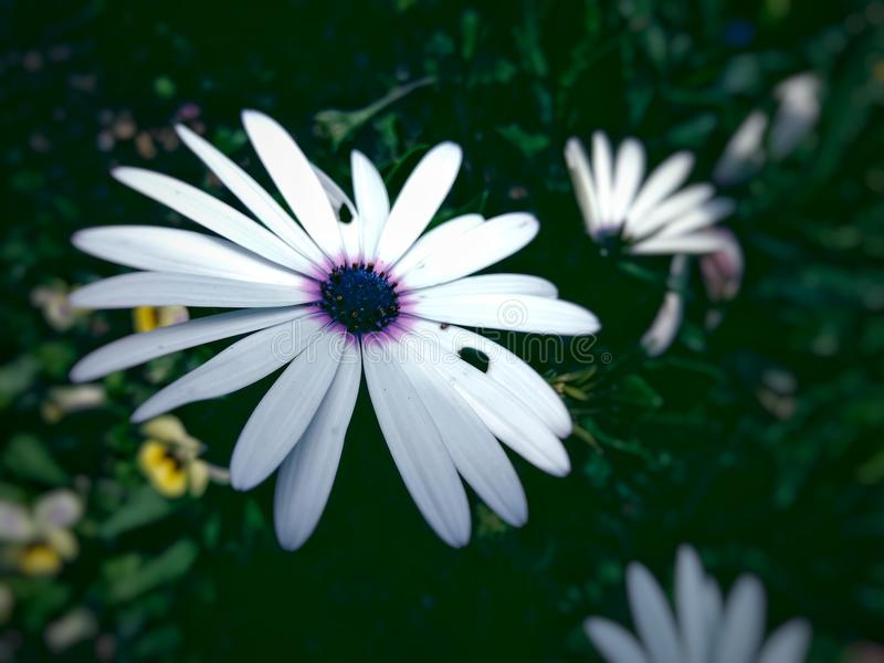 White asters stock images