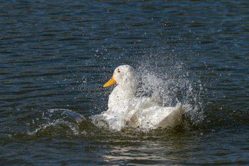 White Aylesbury duck also known as Pekin or Long Island Duck preening feathers and splashing water royalty free stock photos