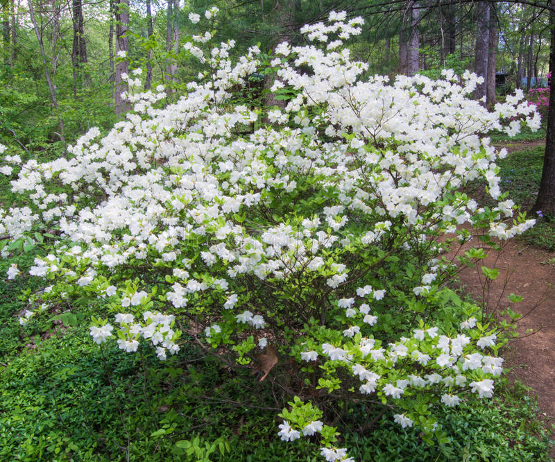 White Azalea Bush Blooming in a Mountain Park stock images