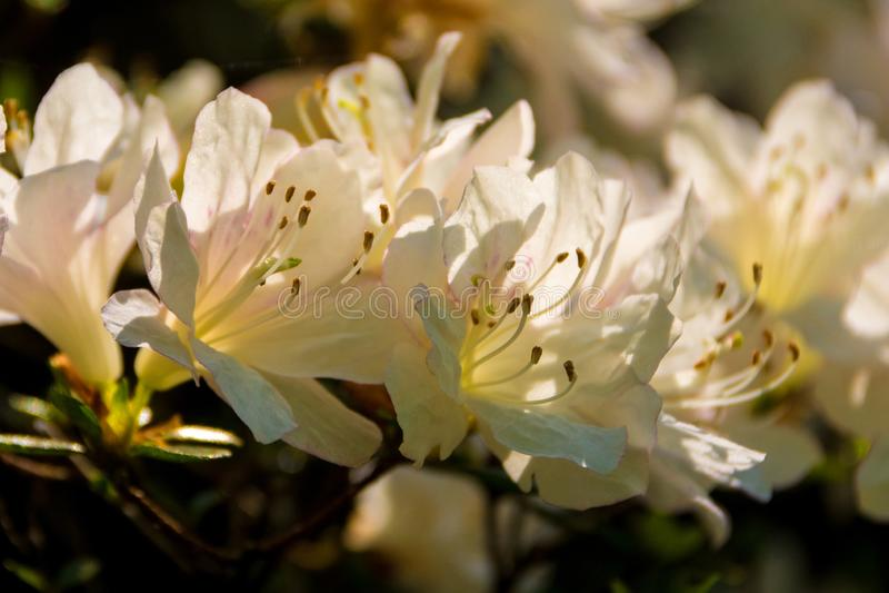 White Azalea Flowers royalty free stock photos