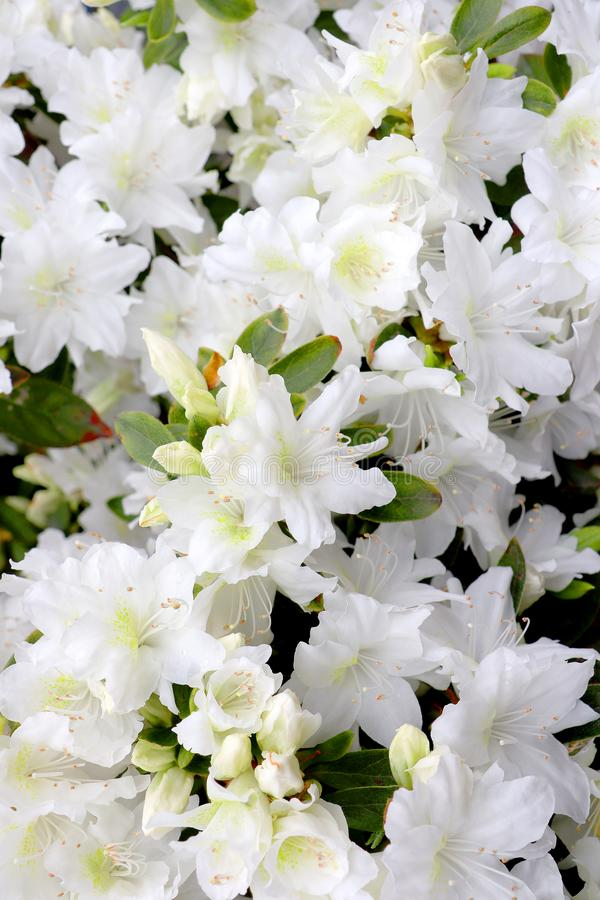 White azalea flowers. A closeup of white azalea flowers in the garden royalty free stock images