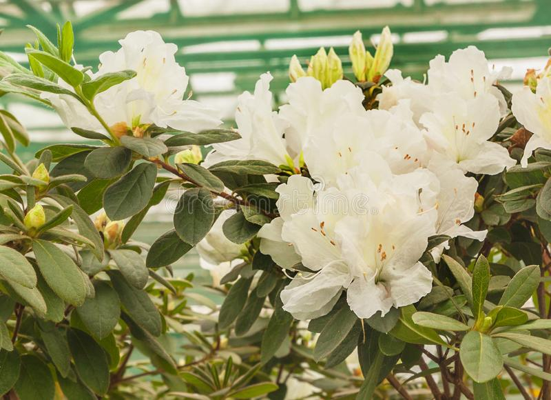 White azalea rhododendron stock photos