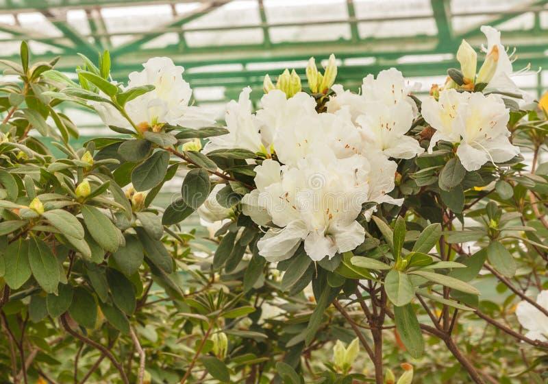 White azalea rhododendron royalty free stock photos